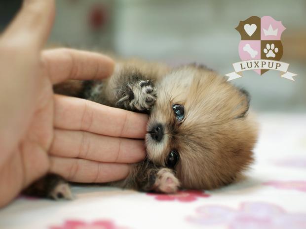 Pomeranian white full grown - photo#11
