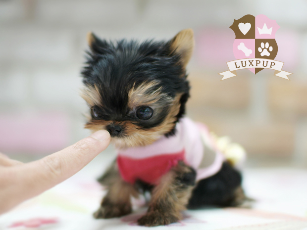 Male Yorkshire Terrier (on hold)