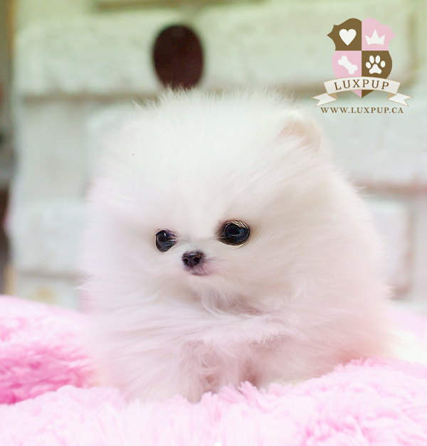 Female Pomeranian (on hold)