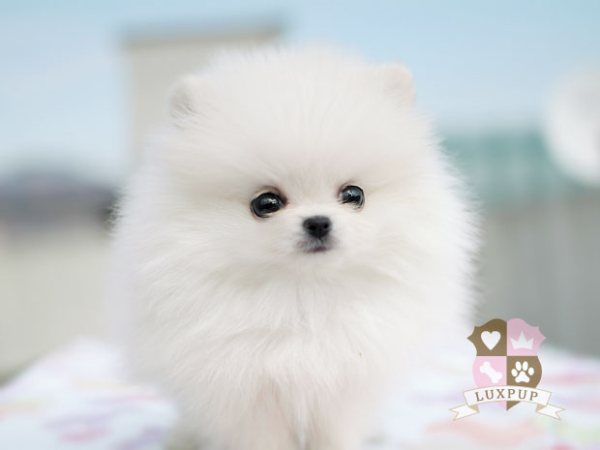 Pomeranian Teacup Full Grown