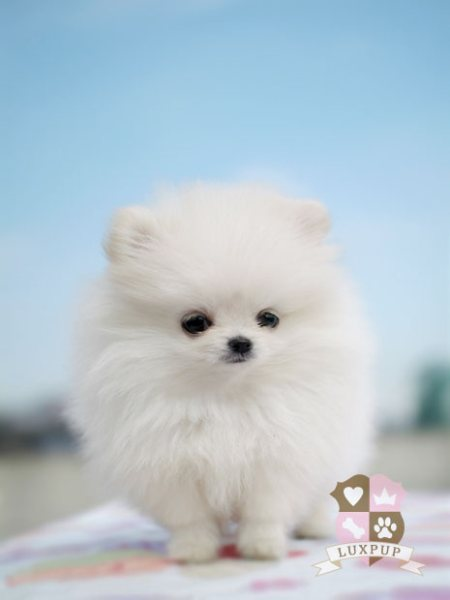 Pin Pomeranian Full Grown Weight And Size on Pinterest