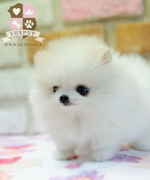 Female Pomeranian - On hold