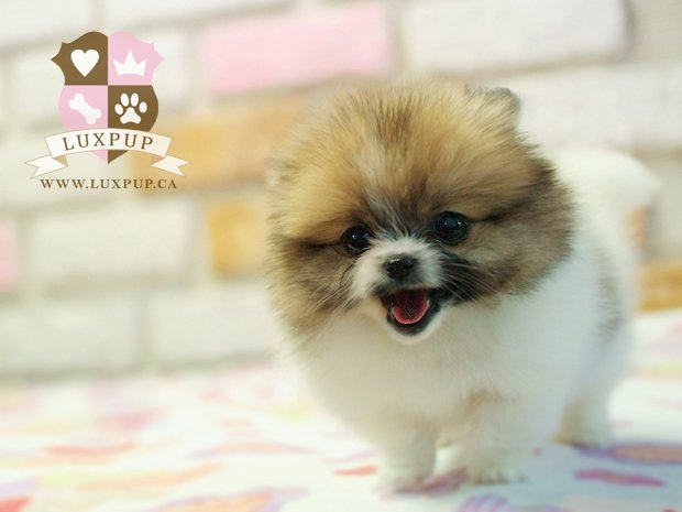 Red Sable Parti Pomeranian
