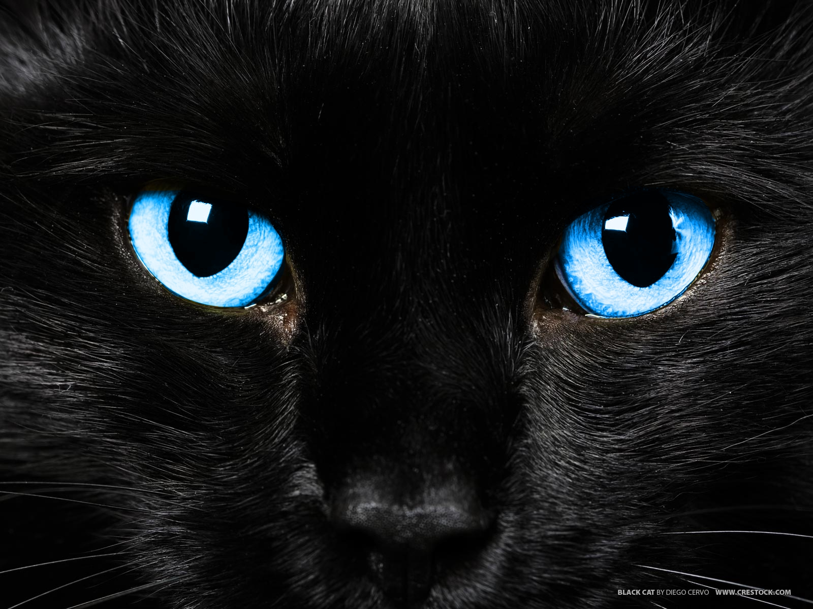 Black Cat with Pale Blue Eyes - Clan Cats...