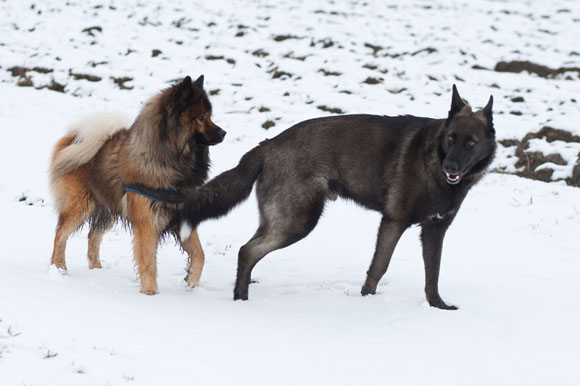 Together with an Eurasier
