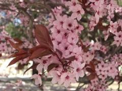 Pruno de flor