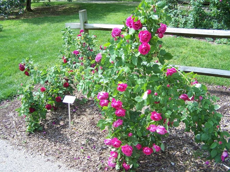 Paul Neyron Greater Cincinnati Rose Association