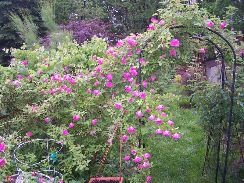 zephirine drouhin greater cincinnati rose association. Black Bedroom Furniture Sets. Home Design Ideas