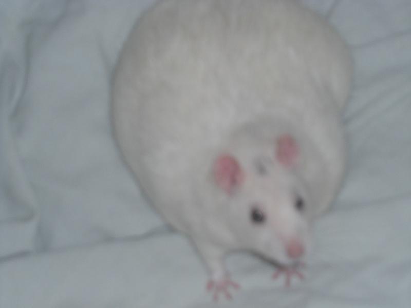 echo my fat rat