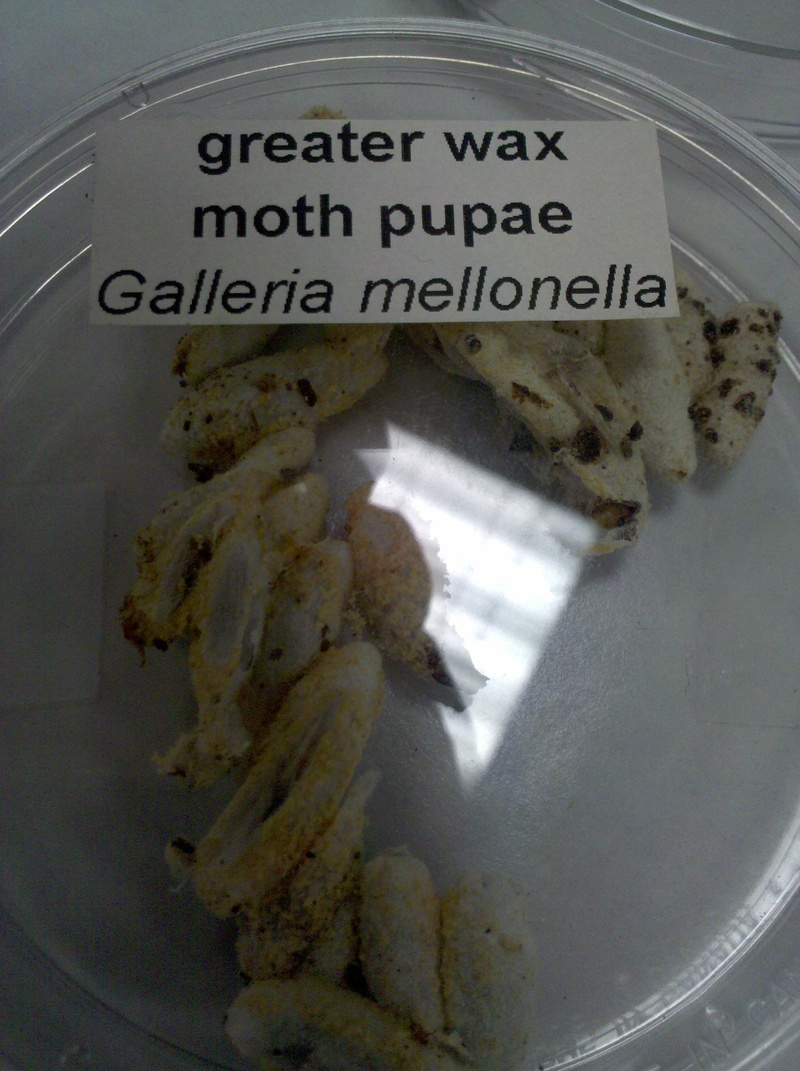 Greater Wax Moth Pupae