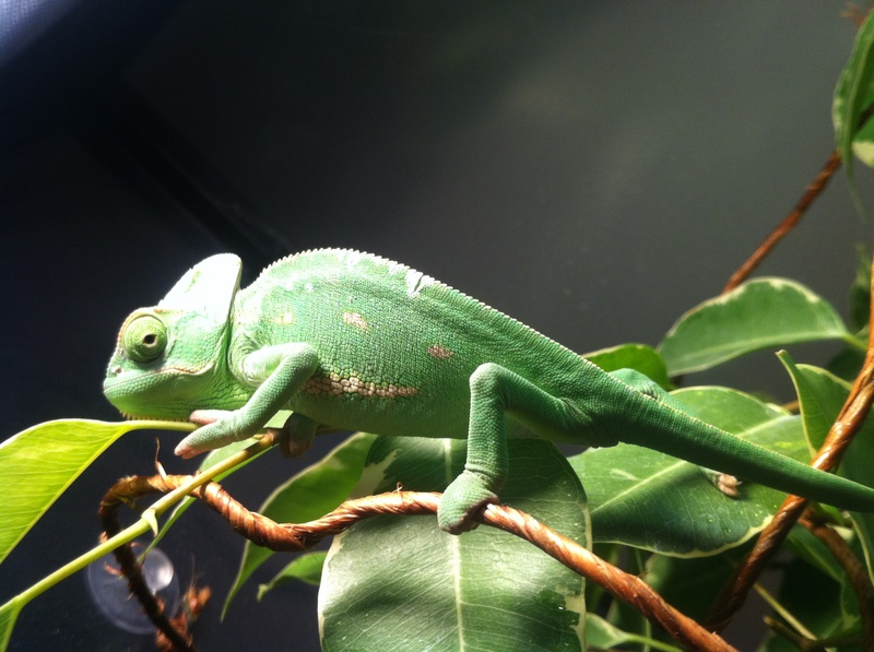 how to tell the gender of a veiled chameleon