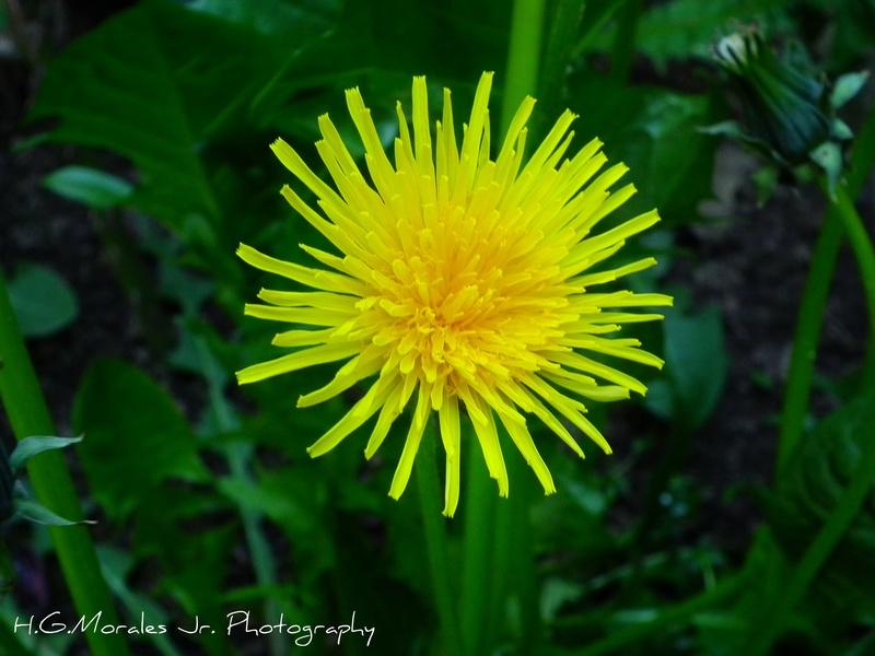 A local wild daisy