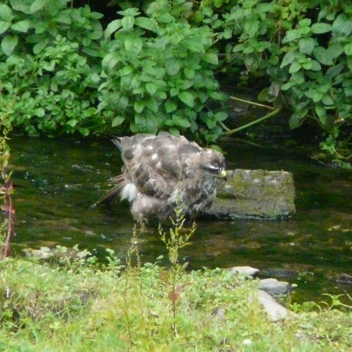 Bathing Buzzard