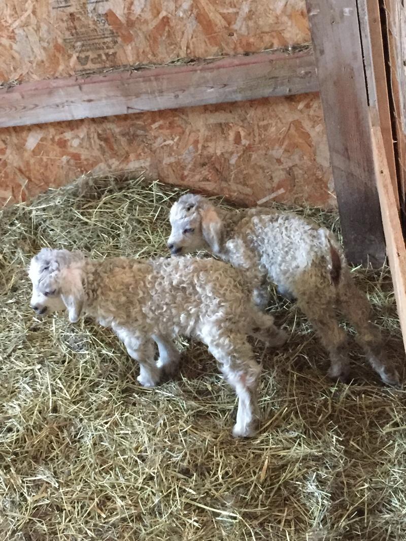 Newborn twin angoras
