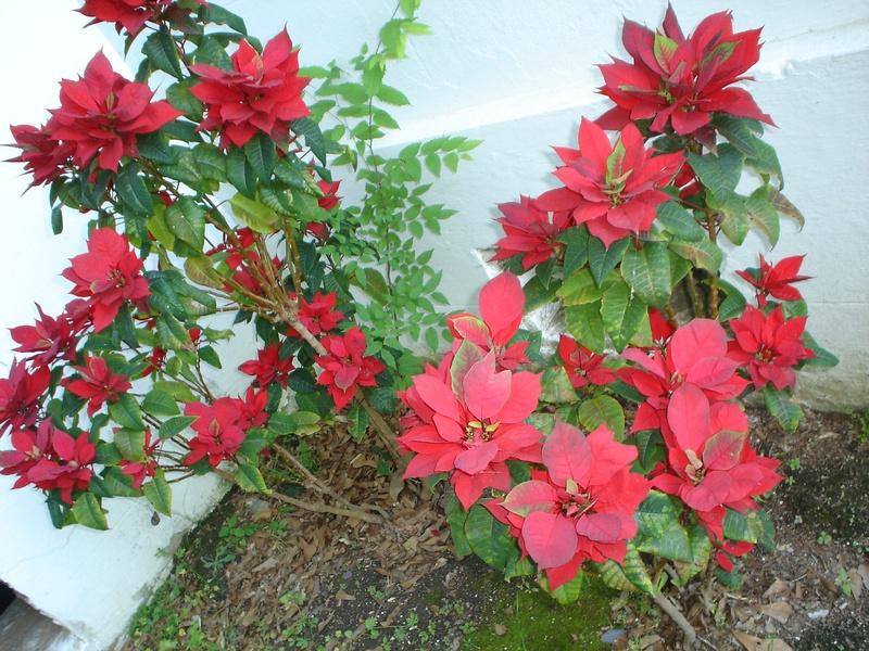 Poinsettia in bloom in Louisina