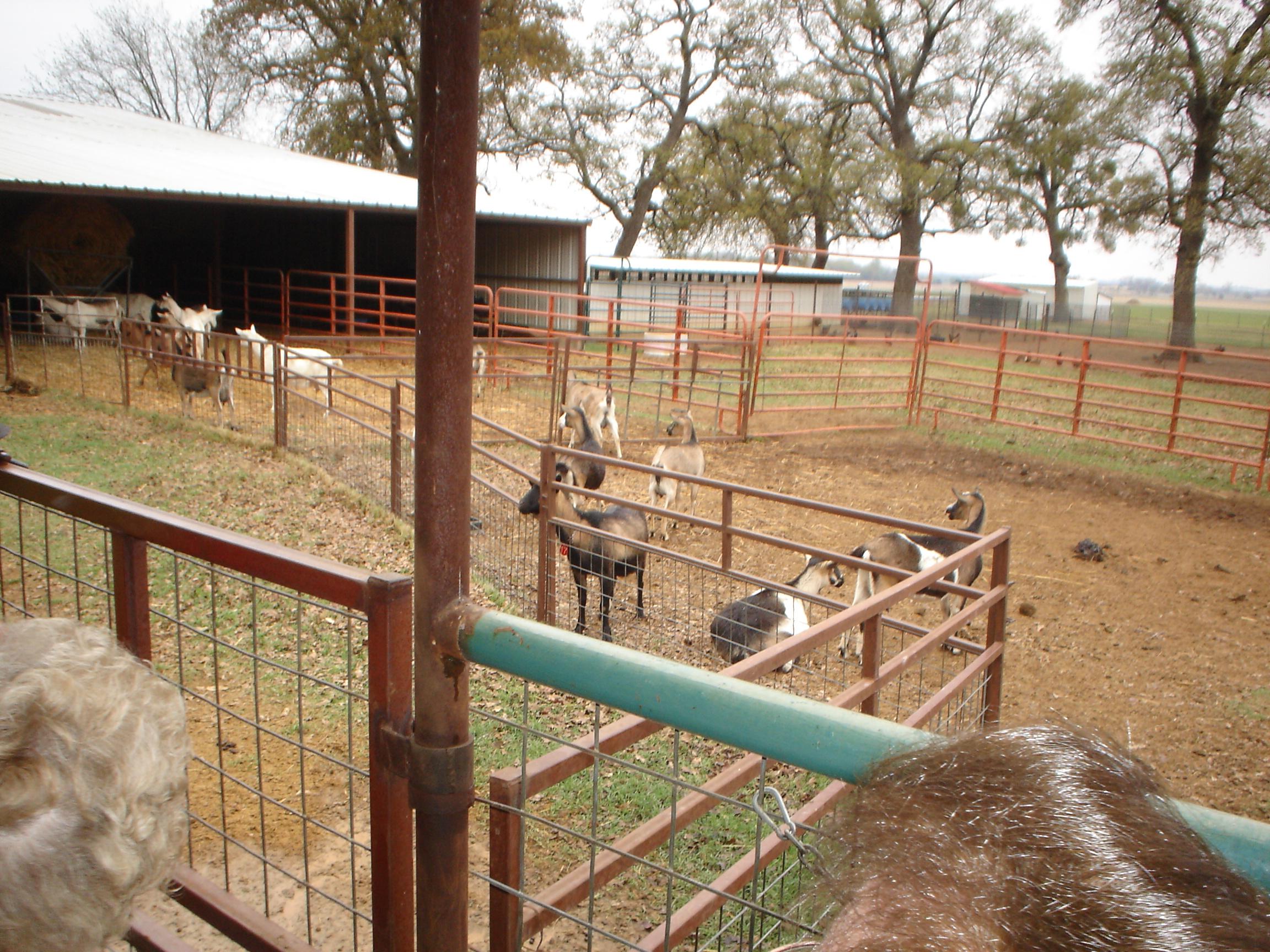 nanny goats at R & C