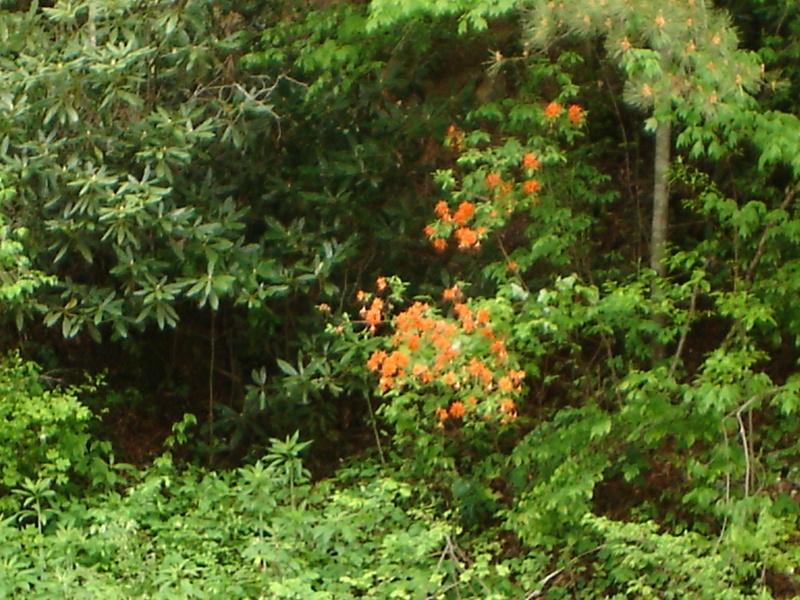 Wild Golden Azaleas in Tenn