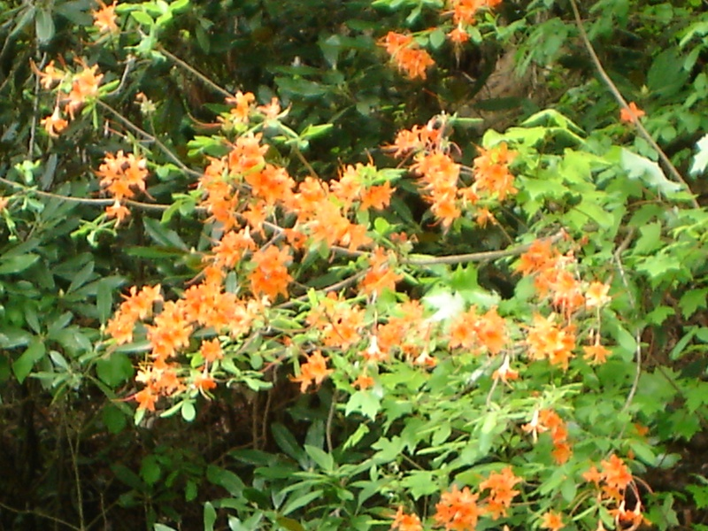 Wild Azaleas Tenn