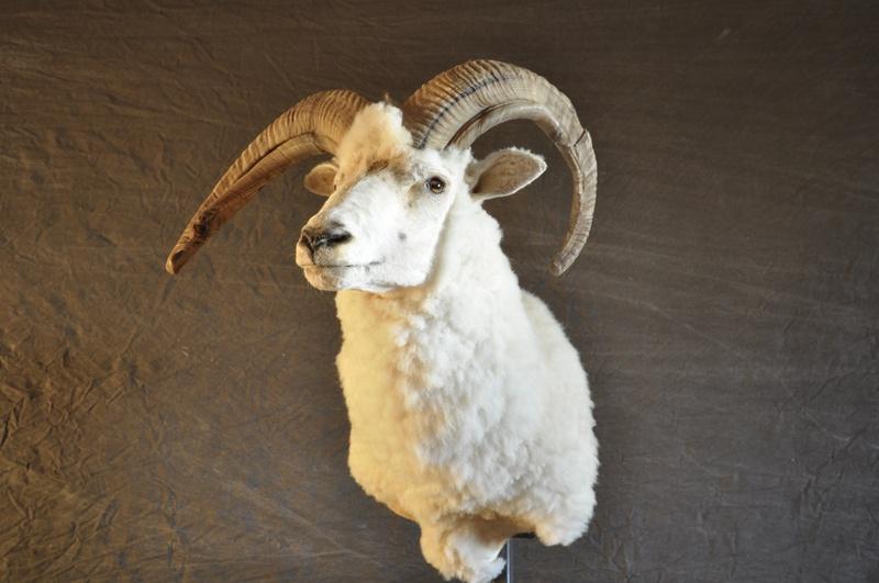 Four horned sheep