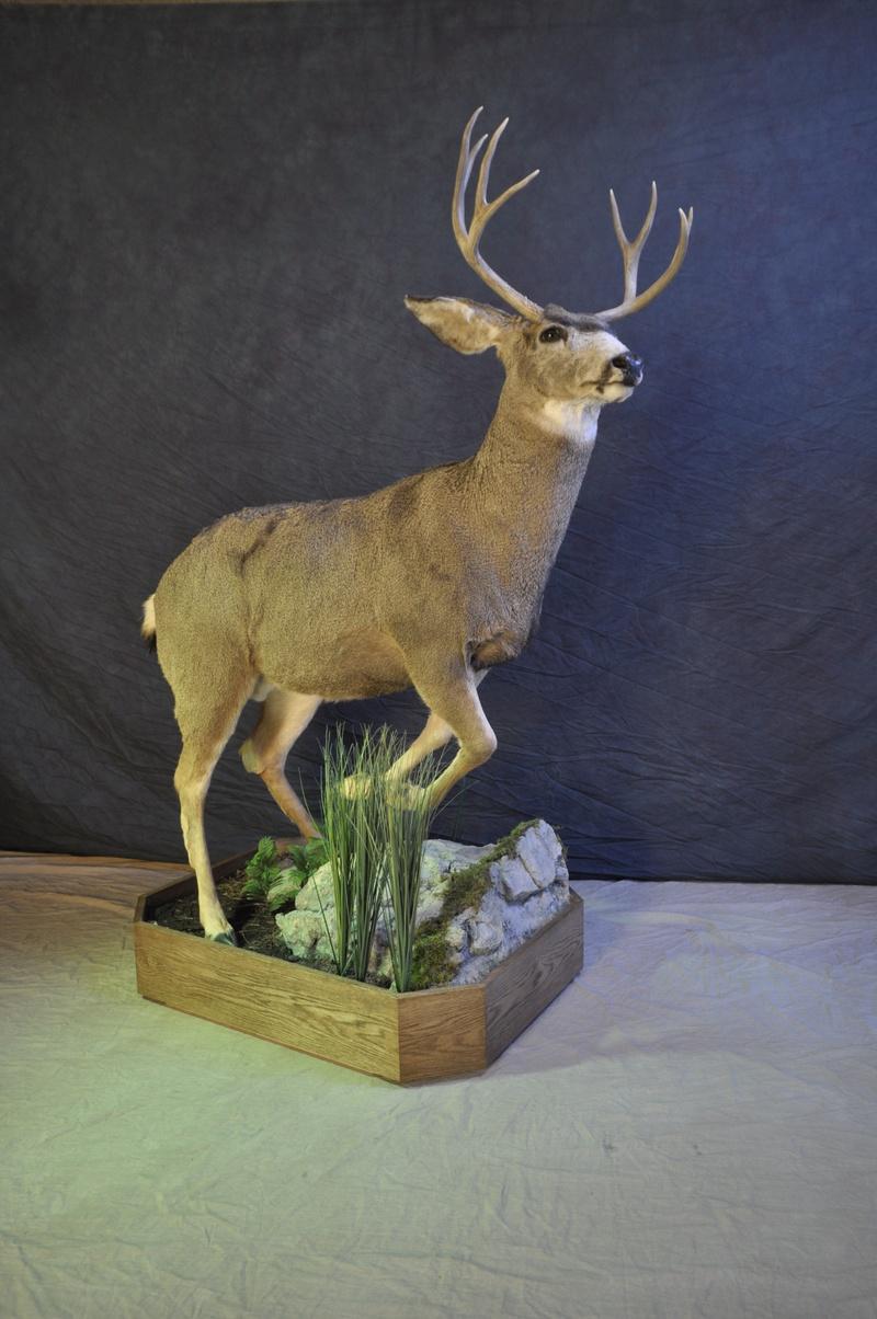 Life size Mule deer