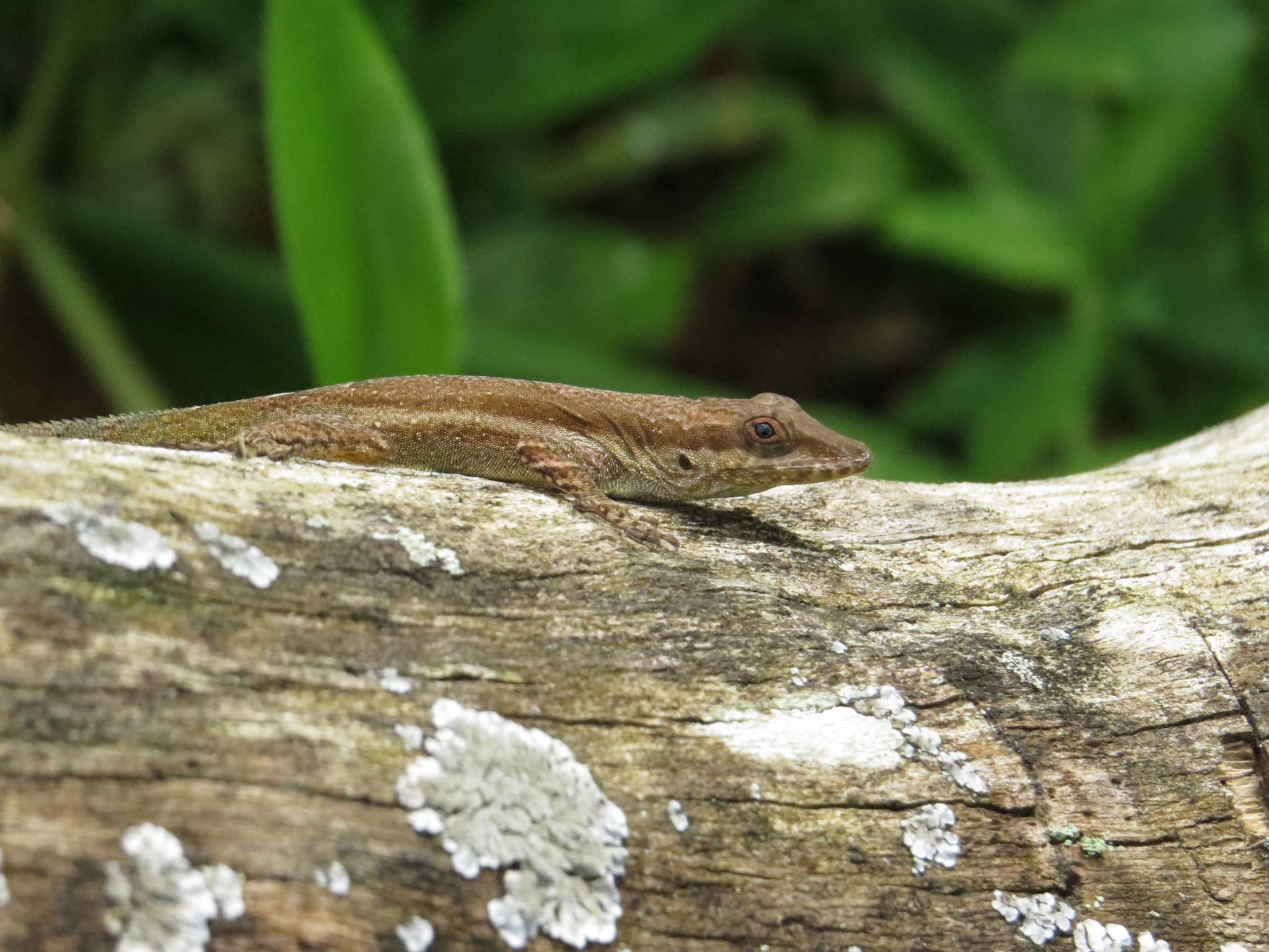 Jamaican Lizard