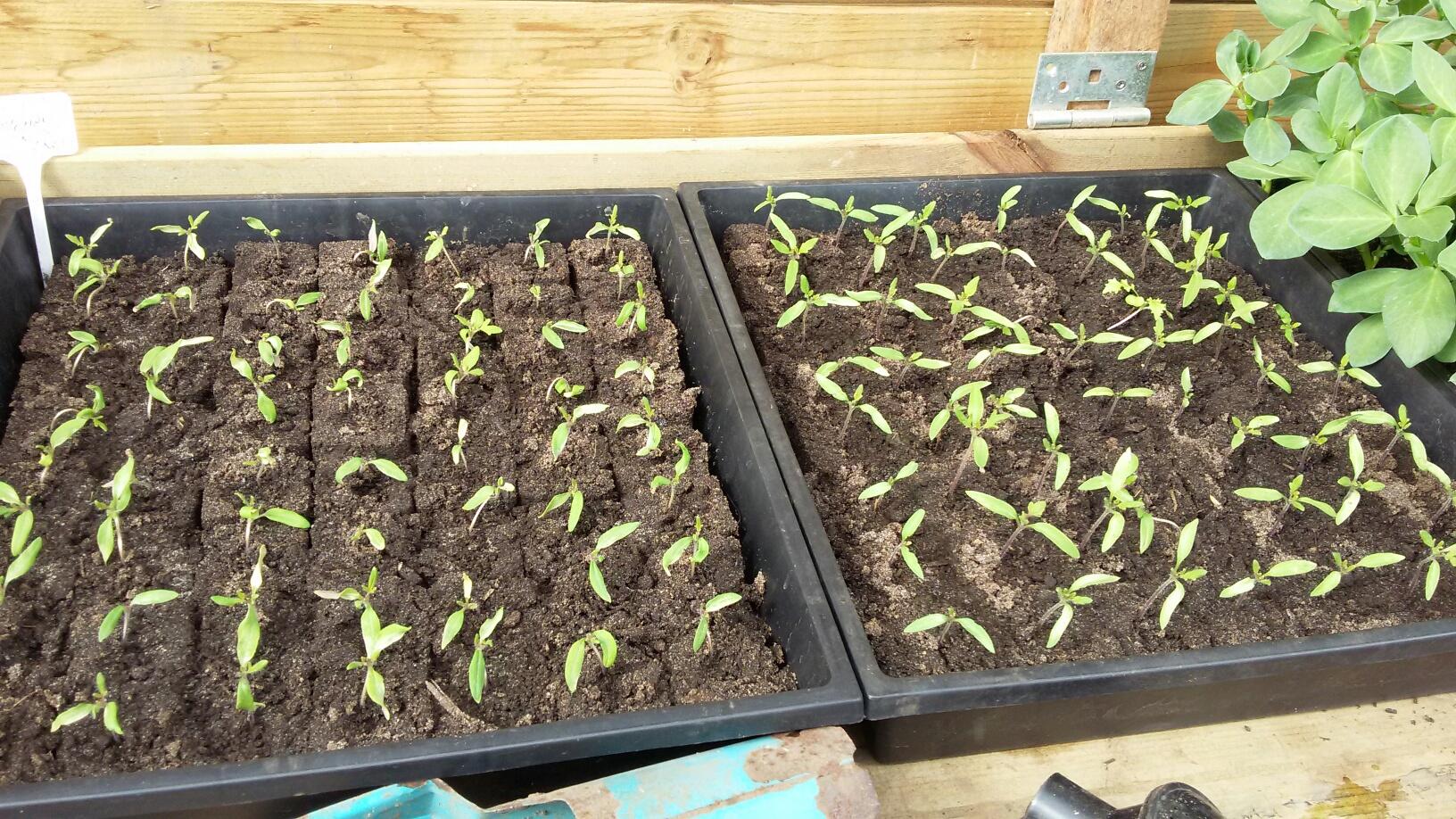 Voorkweek tomaat 28-3