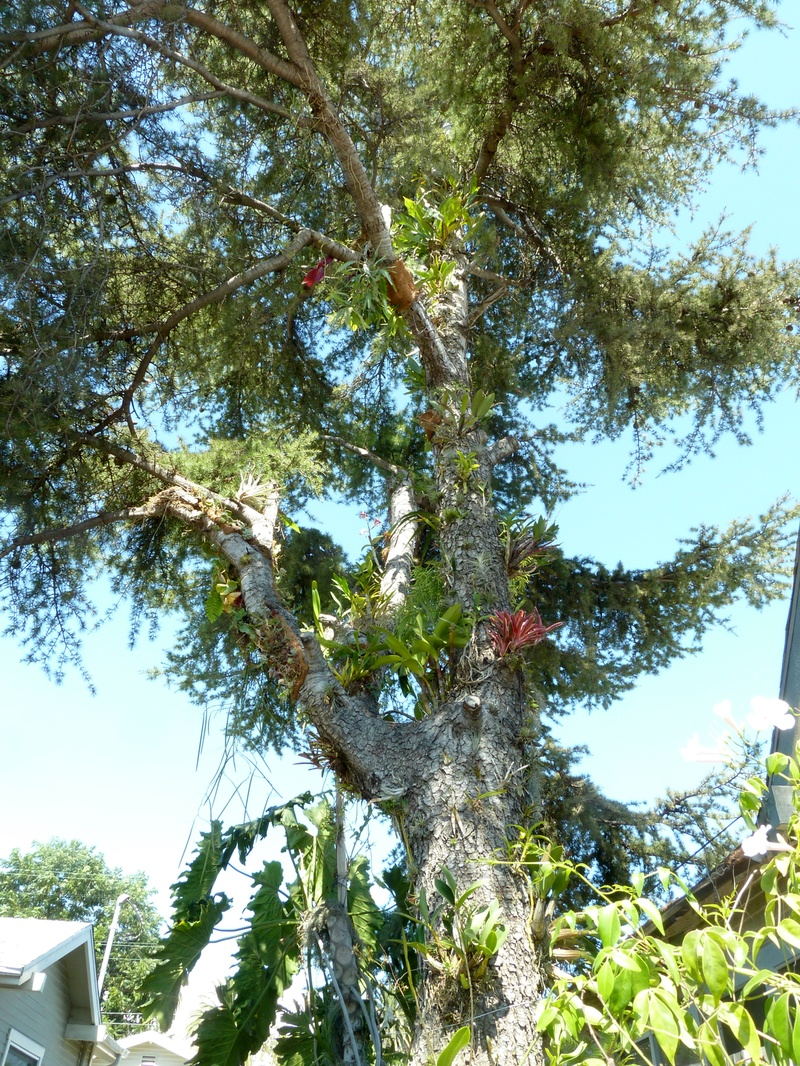 Various Epiphytes on Cedar Tree
