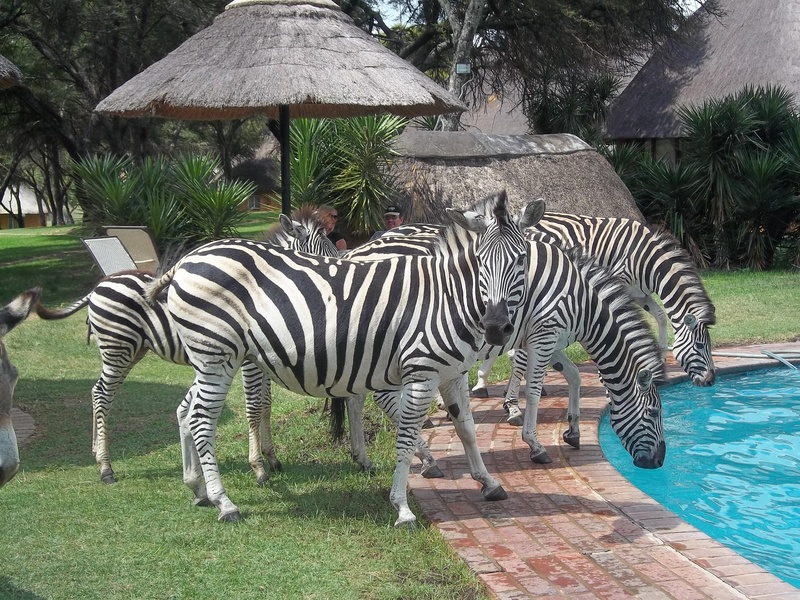 zebras at the pool
