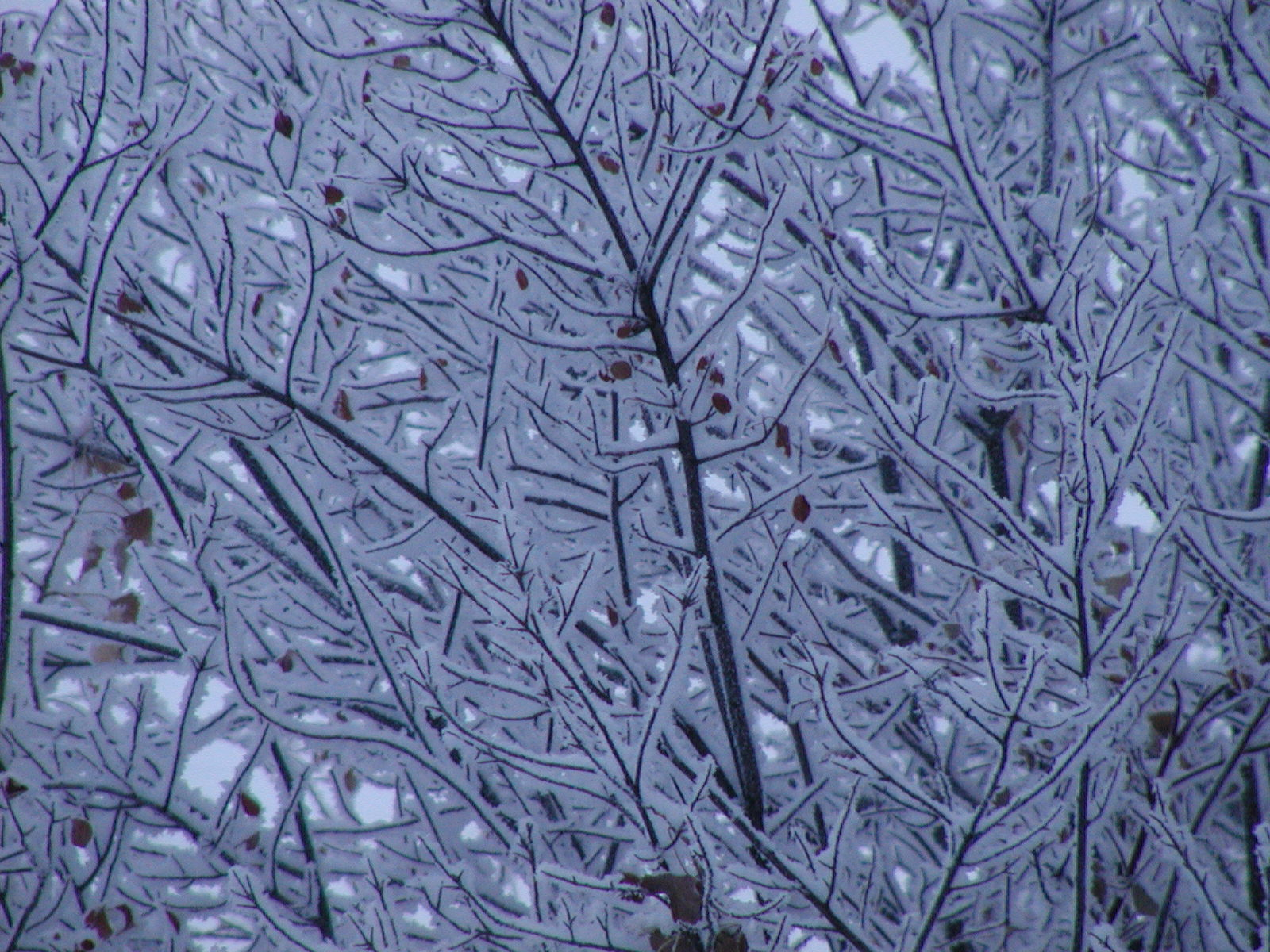 Frosted branches.