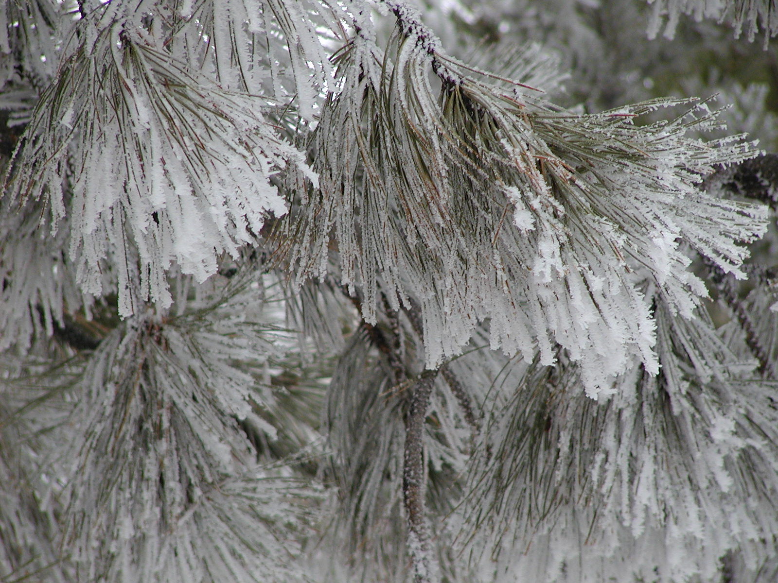 Pine coated in hoar frost.