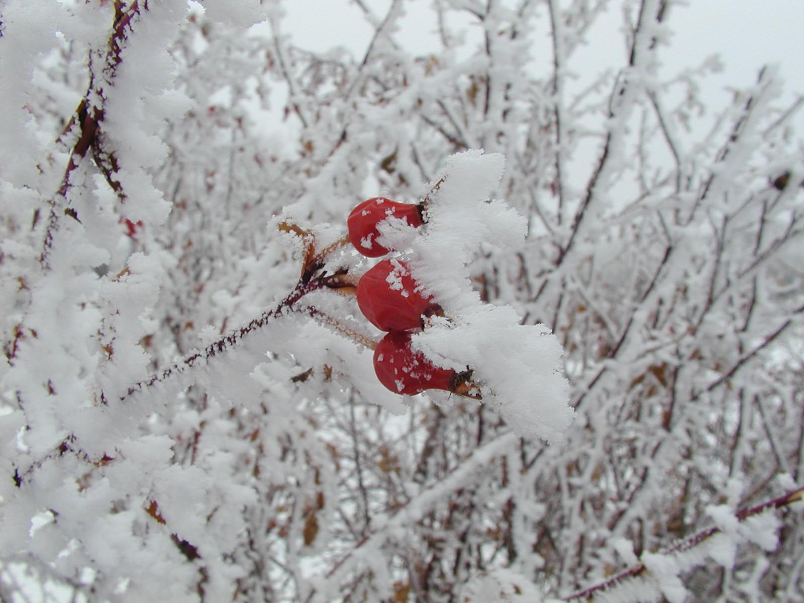 Rose hips in snow.