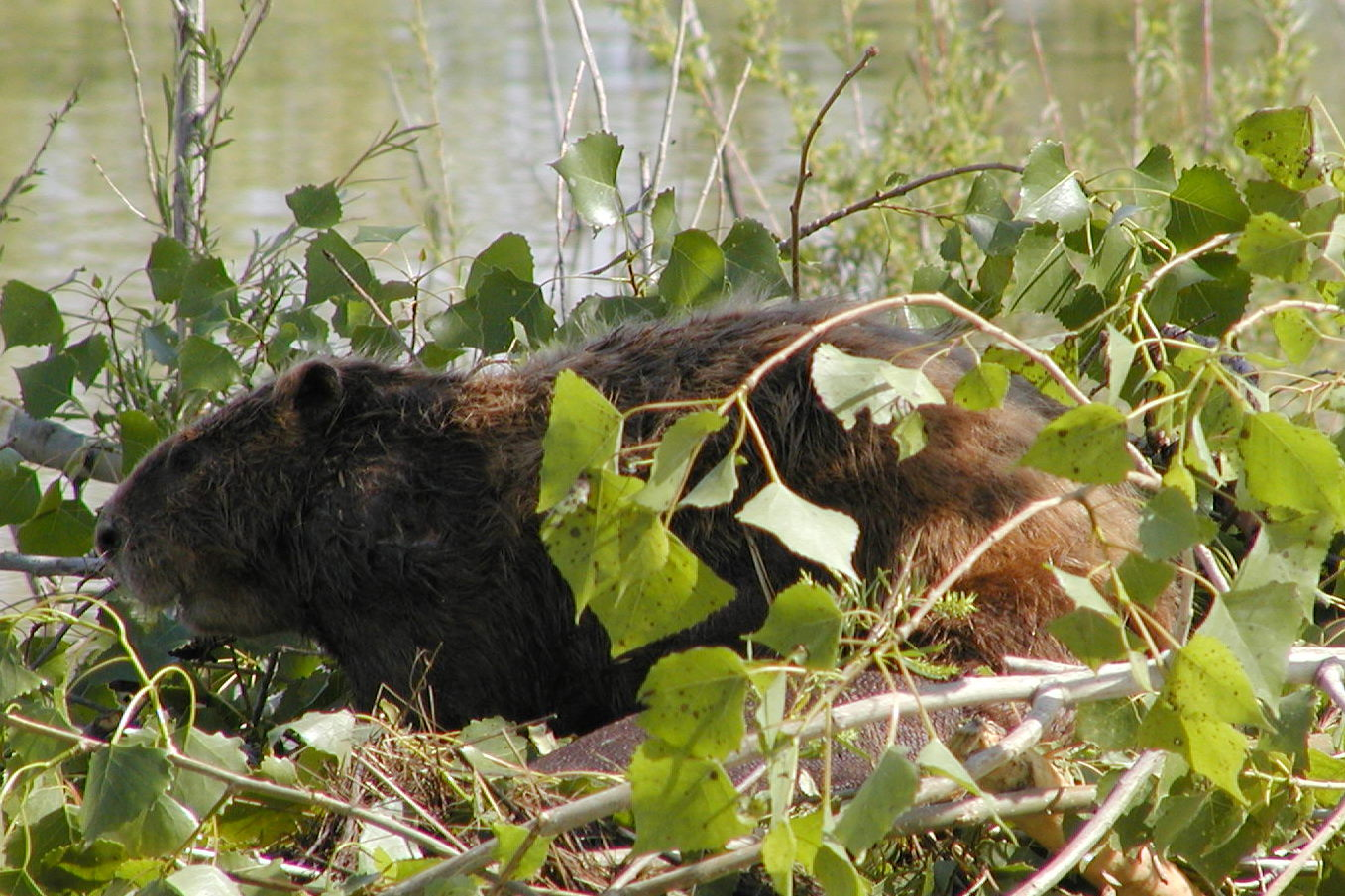 Beaver on lodge