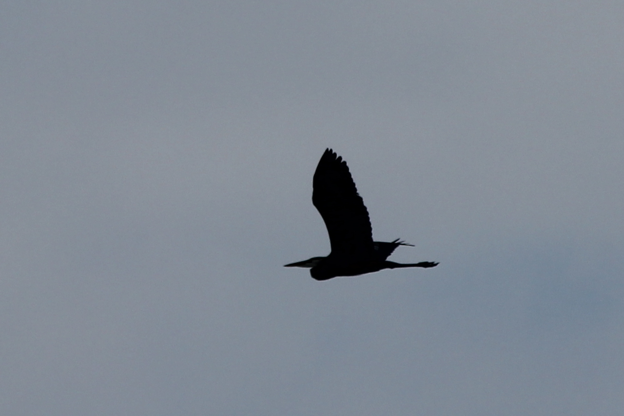 As the eventt wound down, a Great Blue Heron flew overhead
